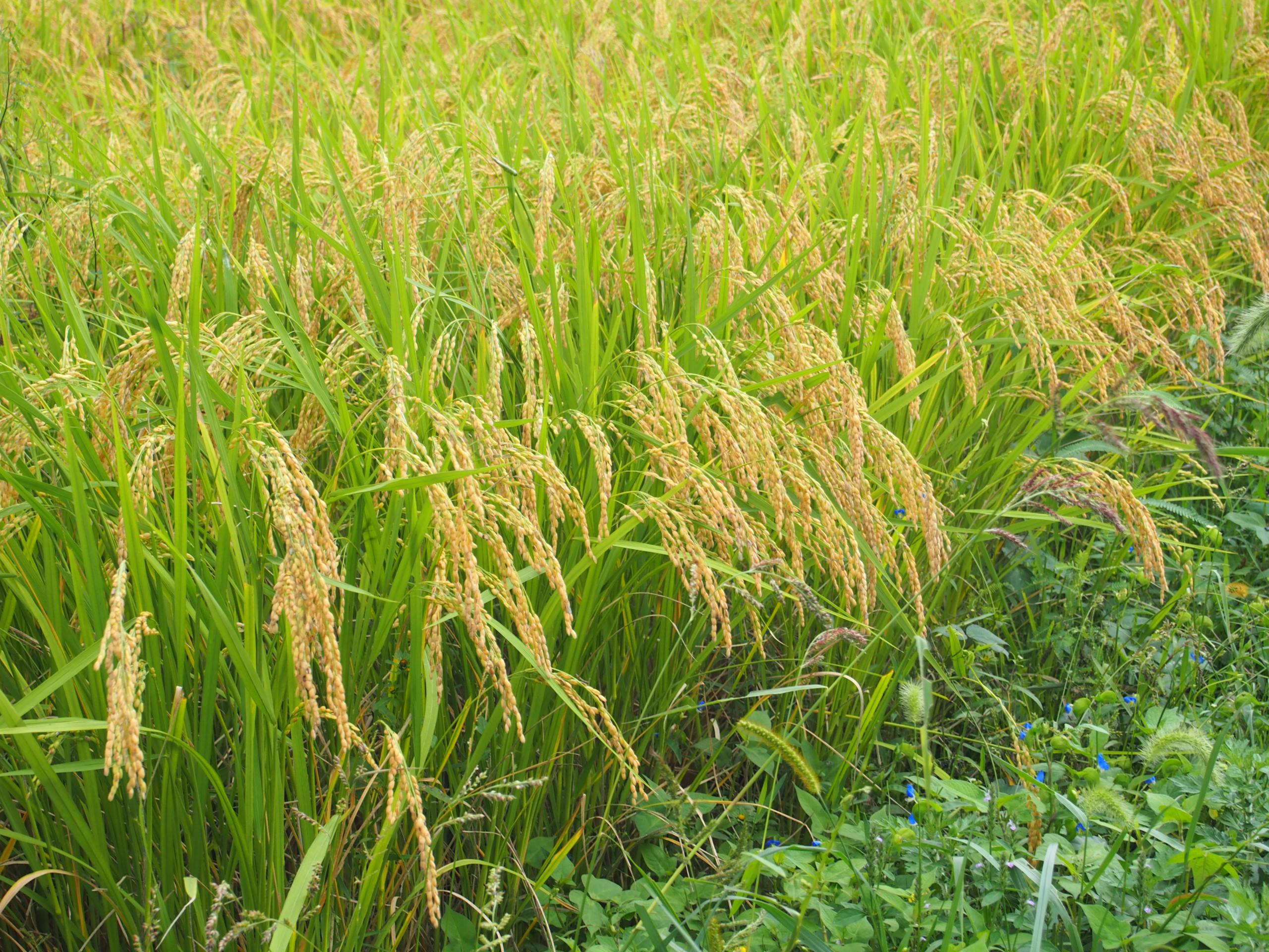 南丹市大沢さんの畑を訪問しました。